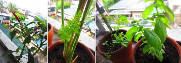 korean pepper, dill , flat leaf parsley, sweet basil